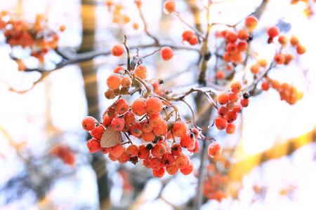 포리스트의 나무의 서 리 낀 가지 통해 태양 광선의 겨울 풍경