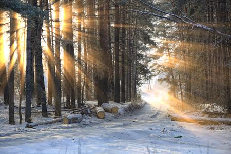 zimowy krajobraz promieni słonecznych przez mroźne gałęzie drzew w sosnowym lesie
