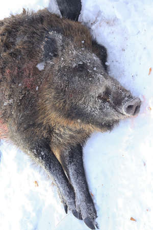 real trophy: closeup head mined hunting wild boar in winter forest