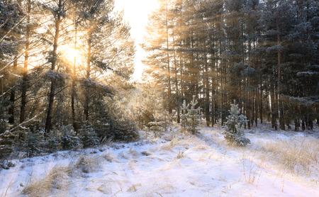 Winterlandschaft von den Strahlen der Sonne durch die bereiften Zweige der Bäume im Kiefernwald Standard-Bild