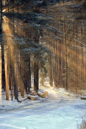 tree world tree service: winter landscape of the suns rays through the frosted branches of the trees in pine forest Stock Photo