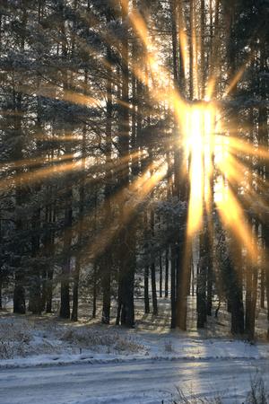 pies bonitos: paisaje de invierno de los rayos del sol a través de las ramas heladas de los árboles en el bosque de pinos