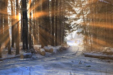 소나무 숲에서 나무의 젖빛 지점을 통해 태양 광선의 겨울 풍경 스톡 콘텐츠
