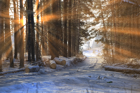 winter landscape of the suns rays through the frosted branches of the trees in pine forest Imagens