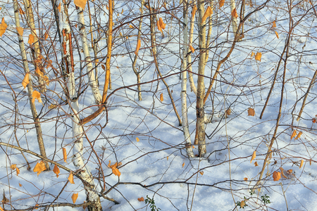 commercial tree service: winter landscape background trunks of young birch trees in the snow