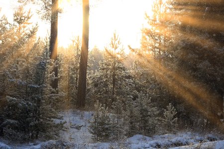 winter landscape of the suns rays through the frosted branches of the trees in pine forest Stock Photo