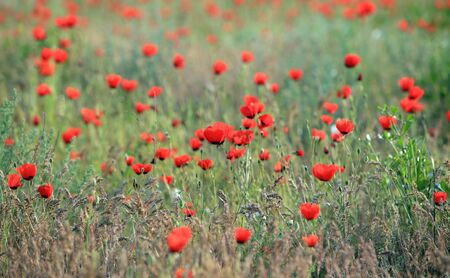 Red poppy flowers field, close-up early in the morning Imagens