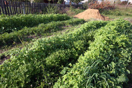 closeup shoots of green manure on the beds in autumn garden Stock Photo