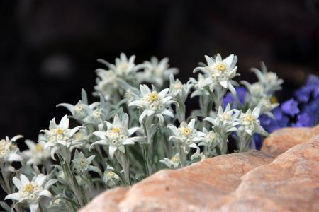 closeup flowerbed alpine garden with beautiful flowers in sunlight