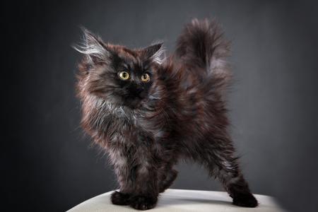 portrait of fluffy black kitten on a gray background studio