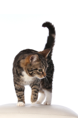 portrait of a beautiful striped cat on white background studio