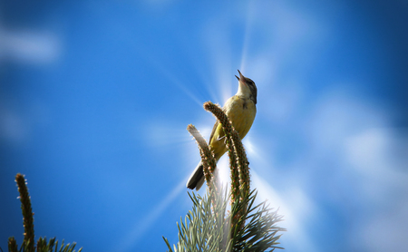 spring landscape songbird oriole on a pine branch against the blue sky