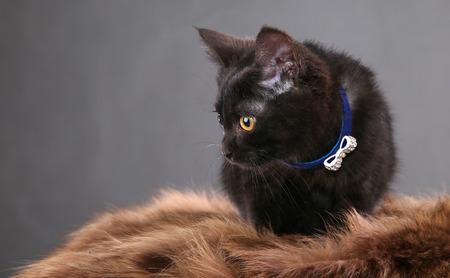Porträt des flaumigen schwarzen Kätzchens in einem blauen Kragen auf einem grauen Hintergrundstudio Standard-Bild - 87684126