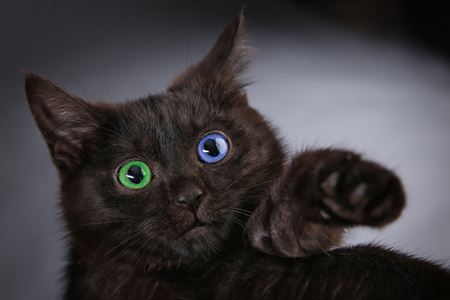 portrait of fluffy black kitten on a gray background studio