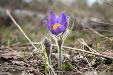 villi: beautiful fresh spring flowers primroses in bloom