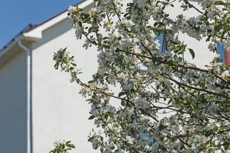 白い家の背景に開花枝 写真素材