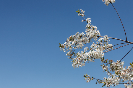青空の背景に開花枝