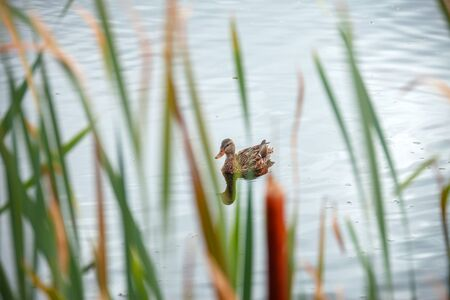 A look at one wild duck through the thicket of reeds Foto de archivo