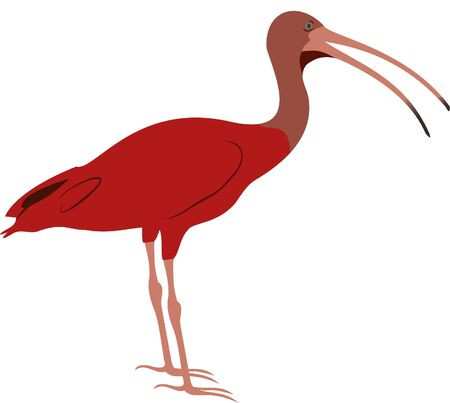 Drawing of a Tropical Scarlet Ibis bird