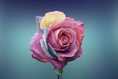 landscape of single rose in blue background with shallow depth of field