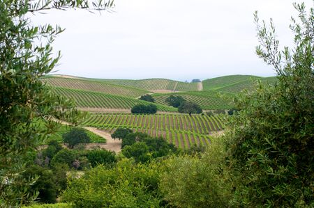 Vineyards in the rolling hills of Napa, California. photo