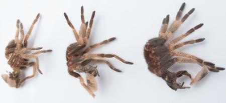 exoskeleton: Brachypelma Smithi exoskeleton