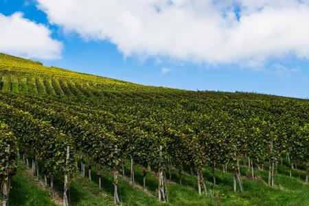 vineyard on the slopes of the mountains. Autumn