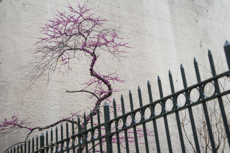 Decorative blooming tree behind metal fence in Manhattan