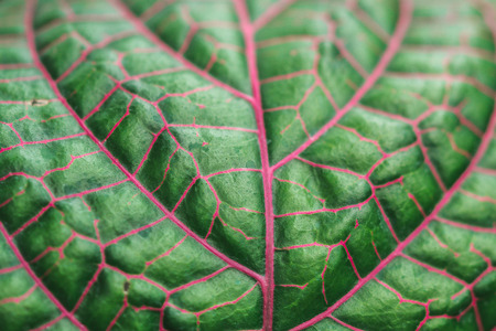 macro photo of green leaf with purple lines. Close-up image