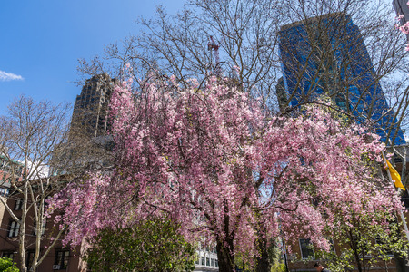 Trees blossom in City Hall Park, Lower Manhattan, New York, USA. Skyscrapers on the background