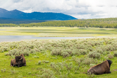 Yellowstone National Park, Madison River Valley, American Bison Herd, Wyoming Stockfoto