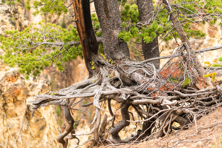 Tree with long roots above the ground at Artist Point in the Grand Canyon of the Yellowstone, Yellowstone National Park, WY, USA 스톡 콘텐츠