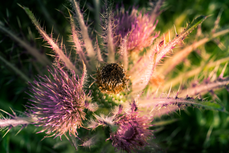 Wild Everts meadow thistle flowers bloom at the Yellowstone National Park, USA