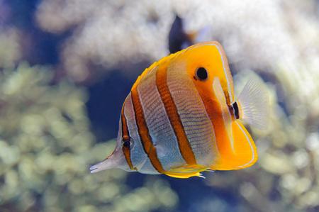 Copperband butterflyfish  Chelmon rostratus  in Oceanopolis Brest Stock Photo