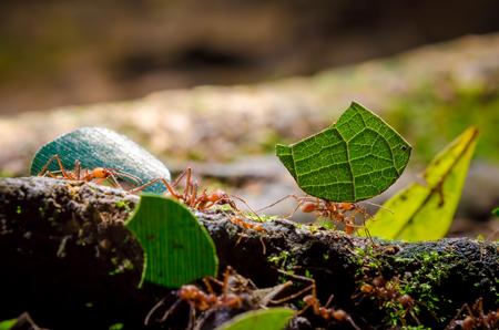 Leafcutter Ants (Atta sp.), Sarapiqui, Costa Rica