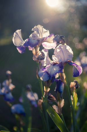 Blue Iris in Giardino dellIris, Florence, Tuscany, Italy Stock Photo