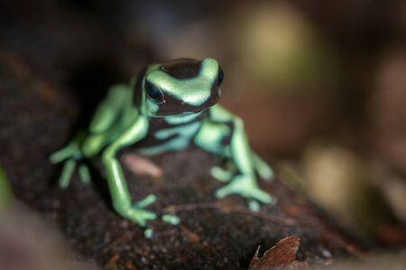 dendrobates: Green and Black Poison Dart Frog (Dendrobates auratus), La Selva, Costa Rica Stock Photo