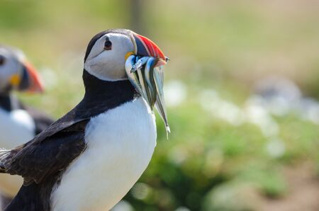 Atlantic puffin carrying sandeels to chicks