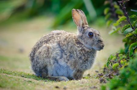 skomer: European Rabbit (Oryctolagus cuniculus)