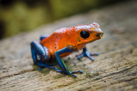 dendrobates: Strawberry Poison-Dart Frog (Oophaga pumilio) in frog garden, Costa Rica