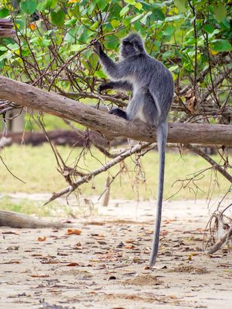 silvered: Silvered Leaf Monkey (Trachypithecus cristatus), Bako National Park, Borneo, Malaysia
