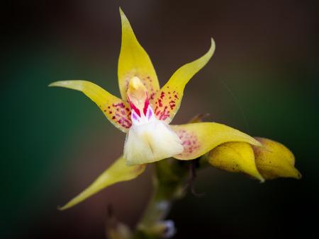 Plocoglottis acuminata - ground growing orchid, Gunung Mulu, Borneo, Malaysia