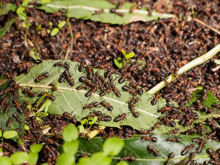 formica: Colony of wood ants of genus Formica build their nets in form of small hills Stock Photo