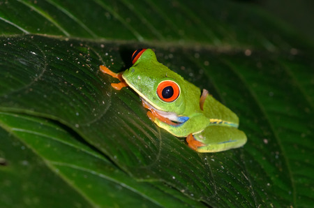 agalychnis: Red-eyed Tree Frog (Agalychnis callidryas), Puerto Viejo de Sarapiqui, Costa Rica