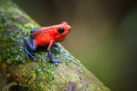 strawberry frog: Strawberry Poison-Dart Frog (Oophaga pumilio), La Selva Biological Station, Costa Rica