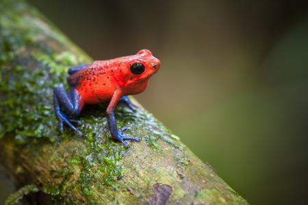 dendrobates: Strawberry Poison-Dart Frog (Oophaga pumilio), La Selva Biological Station, Costa Rica
