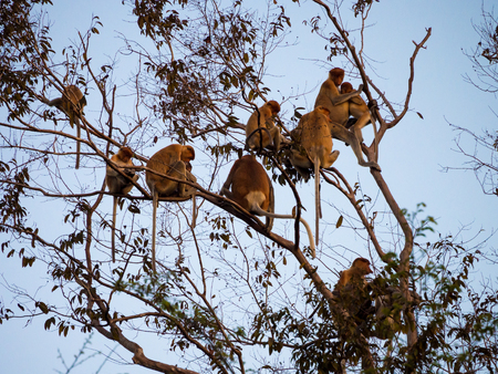 proboscis: Group of Proboscis monkeys gathered in the canopy for the night Stock Photo