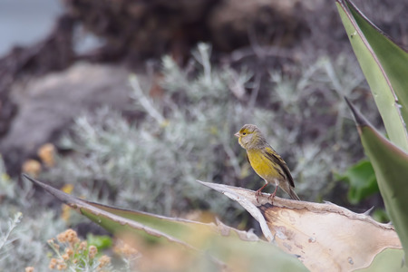 canary: Atlantic canary (Serinus canaria), Tenerife, Canary Islands, Spain