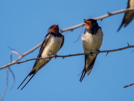 Barn Swallow (Hirundo rustica),  Camargue, France