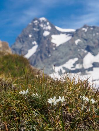 Edelweiss in Hohe Tauern National Park, Austria